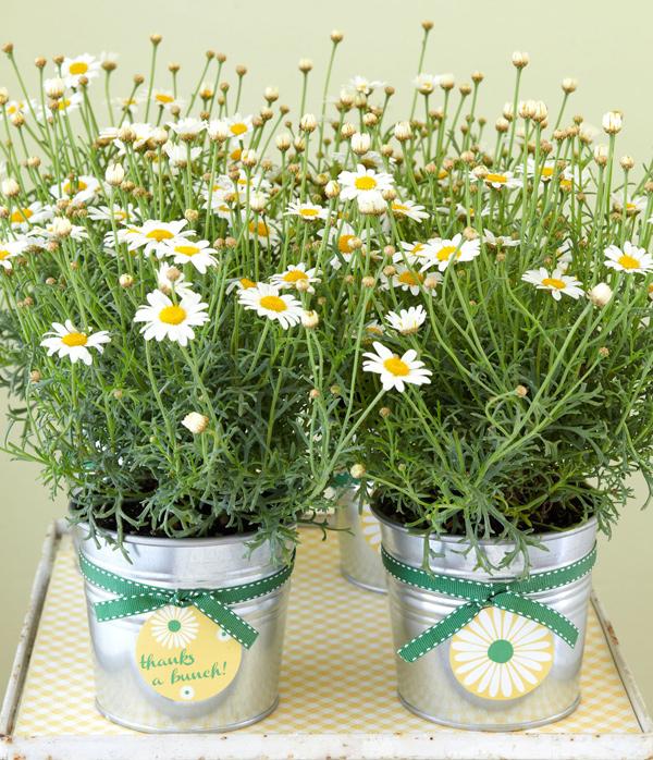 Plantas como lembrancinhas - margaridas